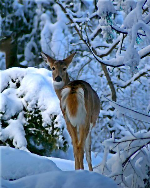 Photograph - Doe In The Snow In Spokane 2 by Ben Upham III