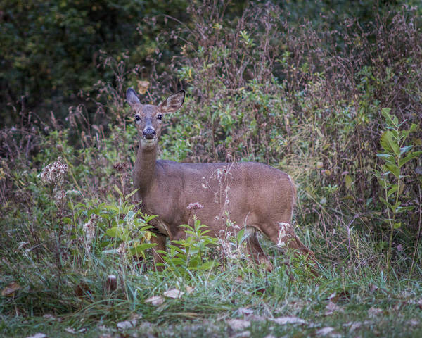 Photograph - Doe In The Weeds by Chris Bordeleau