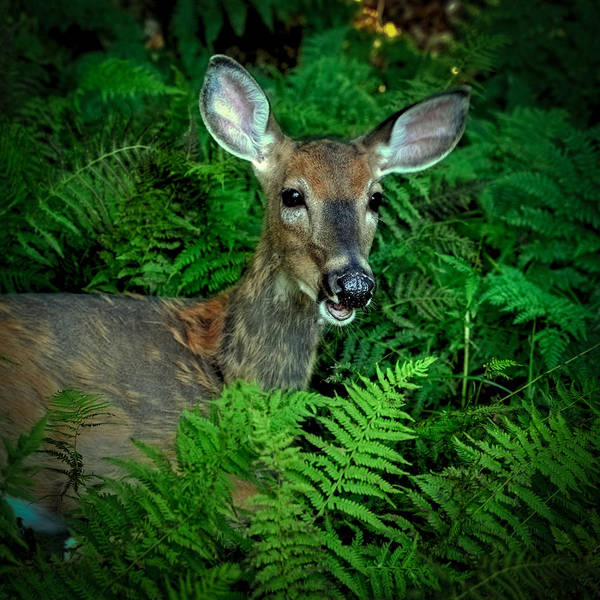 Photograph - Doe In The Woods by David Patterson