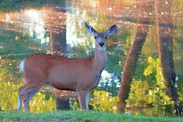 White Tailed Deer Photograph - Doe Surprise by Donna Kennedy