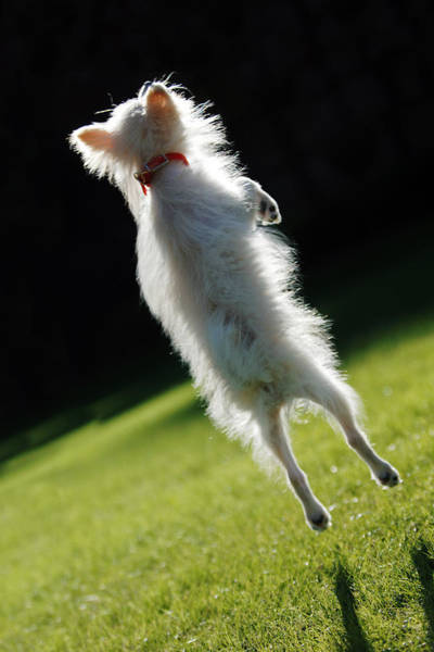 Photograph - Dog - Jumping by Jill Reger
