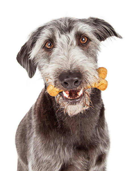 Dog Treat Photograph - Dog Carrying Bone Biscuit In Mouth by Susan Schmitz
