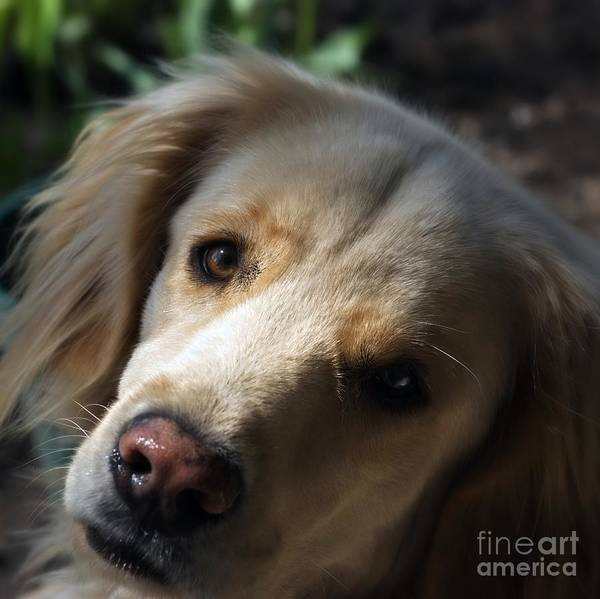 Photograph - Dog Eyes by Frank J Casella