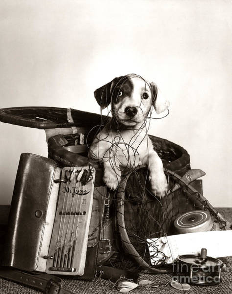 Photograph - Dog In Tackle Box, C.1950s by H Armstrong Roberts and ClassicStock