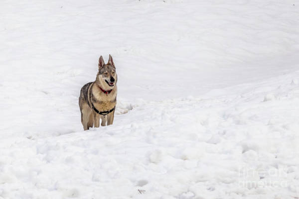 Czechoslovakian Photograph - Dog In The Snow by Benny Marty