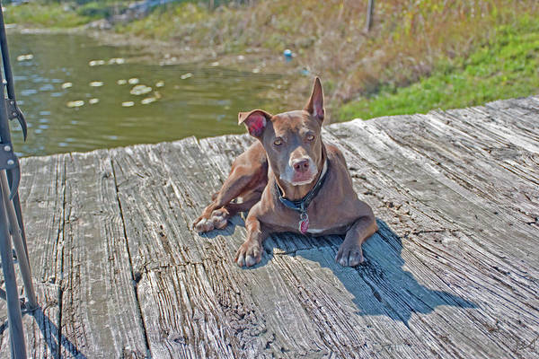 Photograph - Dog On A Dock by Gina O'Brien
