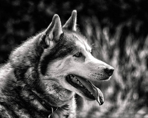 Photograph - Dog Siberian Husky Profile In Black And White by Bill Swartwout Photography
