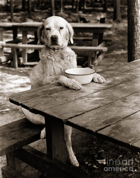 Photograph - Dog Sitting At Picnic Table, C.1930s by H Armstrong Roberts and ClassicStock