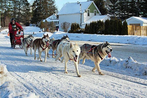 Photograph - Kearney Dog Sled Race by Tatiana Travelways
