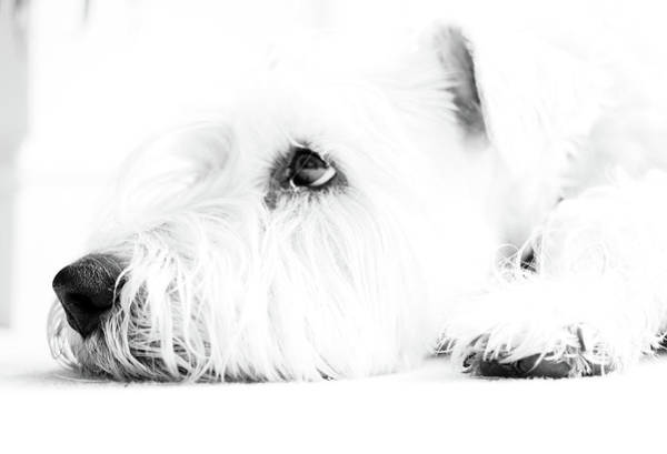 Resting Photograph - Dog Waiting by Nicky Bond