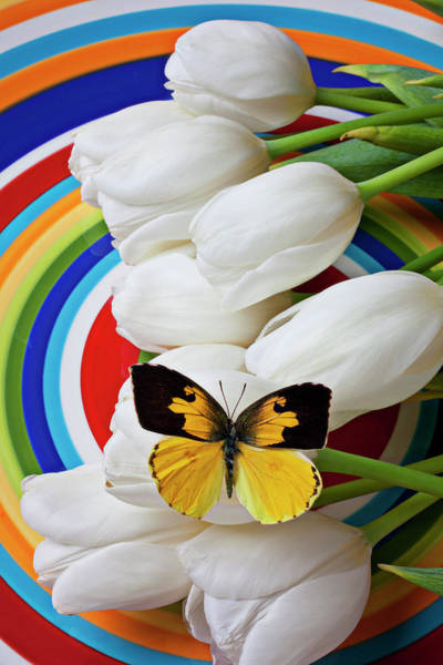 Metamorphosis Photograph - Dogface Butterfly On White Tulips by Garry Gay