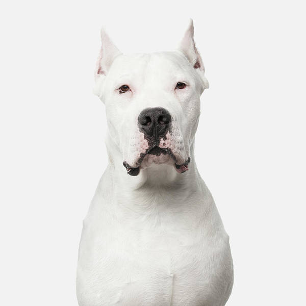 Photograph - Dogo Argentino On White by Sergey Taran