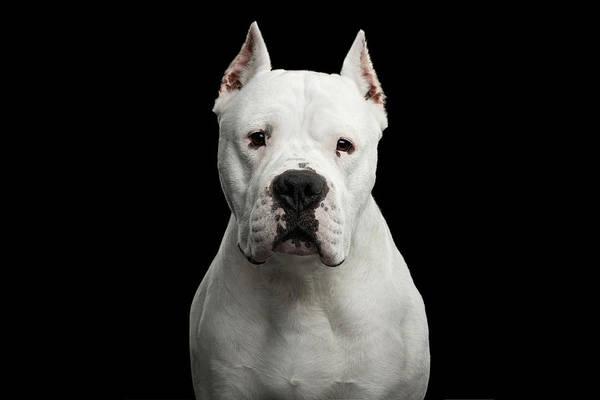 Photograph - Dogo Argentino by Sergey Taran