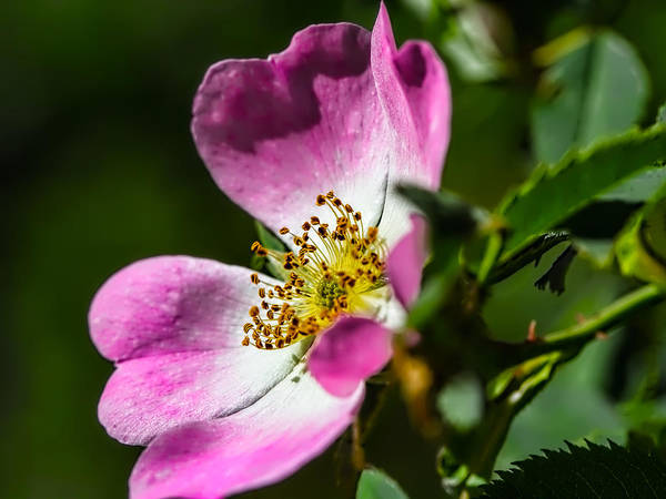Photograph - Dogrose 2 by Leif Sohlman