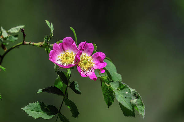 Photograph - Dogrose #h1 by Leif Sohlman