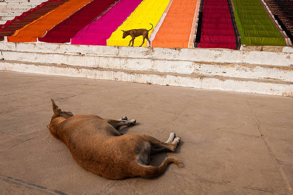 Photograph - Dogs And Saris by Marji Lang