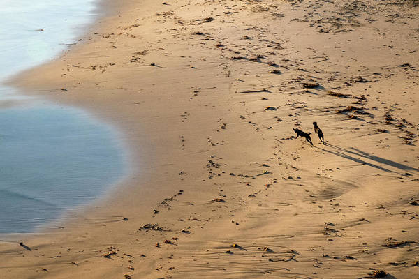 Photograph - Dogs Running On Santa Cruz Beach by Mary Lee Dereske