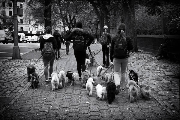 5th Avenue Photograph - Dog Walking by Jessica Jenney