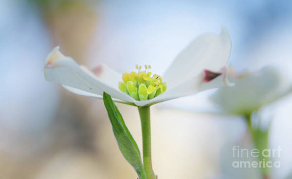 Photograph - Dogwood 3 by Andrea Anderegg