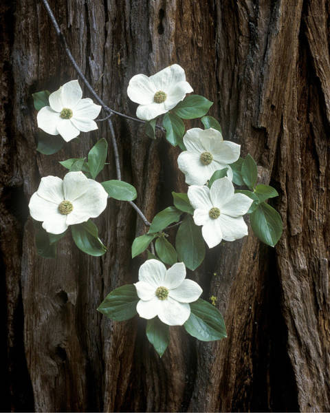 Dogwoods Photograph - Dogwood And Redwood by Joe  Palermo
