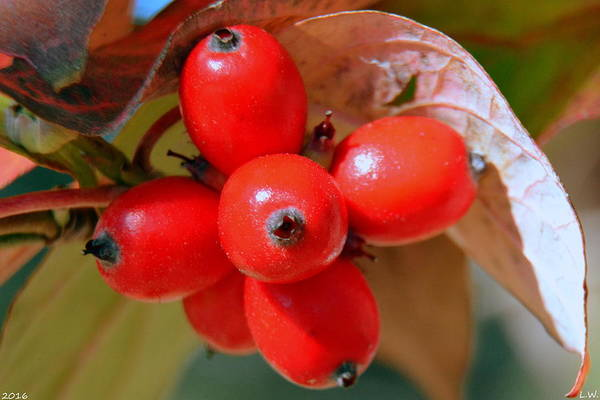 Photograph - Dogwood Berries by Lisa Wooten