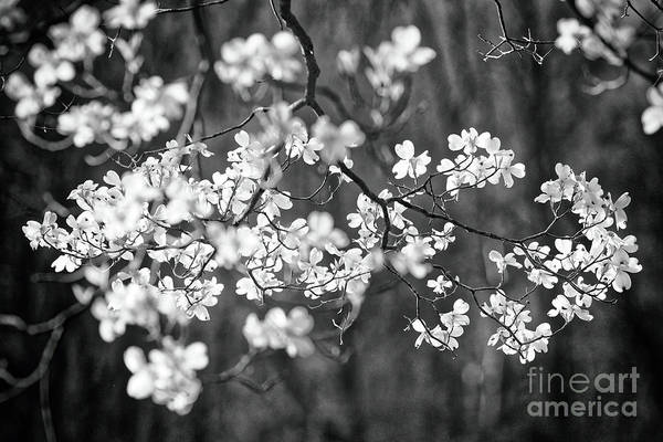 Wall Art - Photograph - Dogwood Bloom In Black And White by George Oze