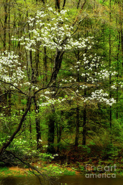 Photograph - Dogwood Blooming By River by Thomas R Fletcher