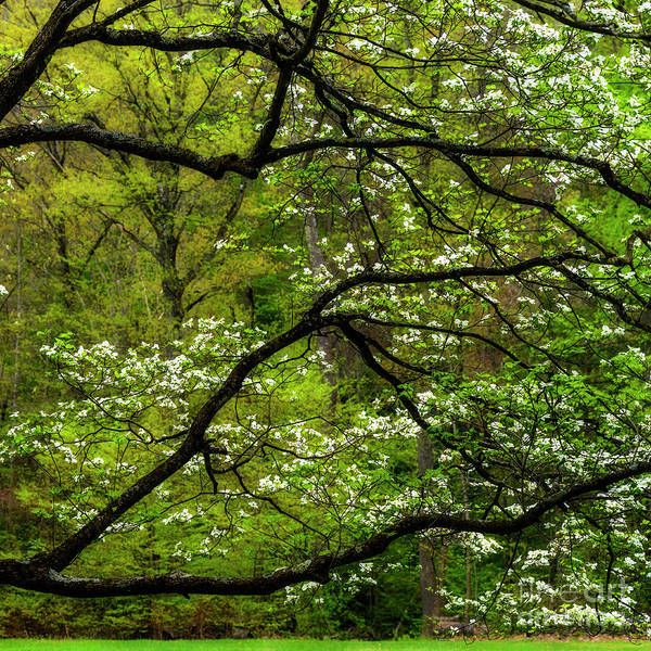 Photograph - Dogwood Blooming Woodbine Picnic Area by Thomas R Fletcher