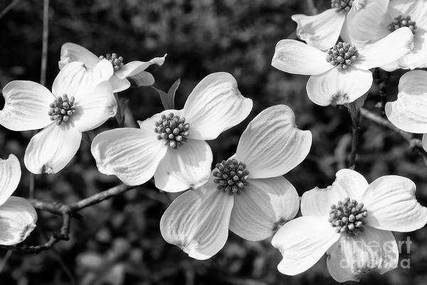 Photograph - Dogwood Blooms In Black And White by Jill Lang