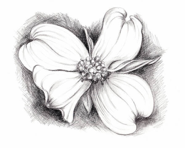 Drawing - Dogwood Blossom Charcoal by MM Anderson