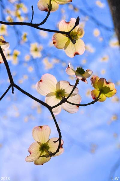 Photograph - Dogwood Blossoms In The Sky by Lisa Wooten