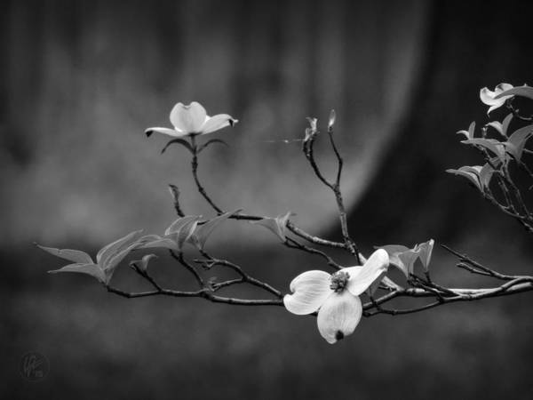 Photograph - Dogwood Branch 001 Bw by Lance Vaughn