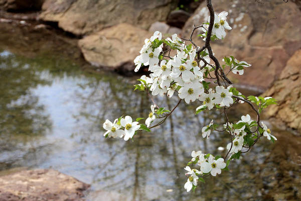 Honor Heights Park Photograph - Dogwood Branch Over Pond by Carolyn Fletcher
