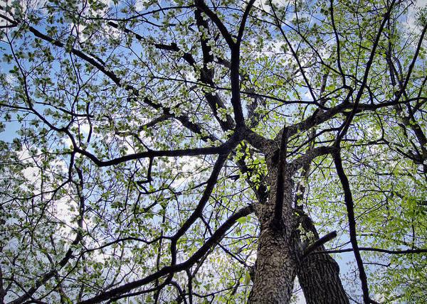 Dogwood Canopy Art Print