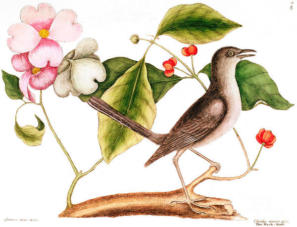 Dogwood Painting - Dogwood  Cornus Florida, And Mocking Bird  by Mark Catesby