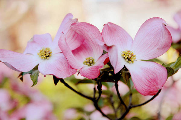Dogwoods Photograph - Dogwood Dance by Jessica Jenney