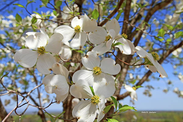 Photograph - Dogwood Days by Dale R Carlson