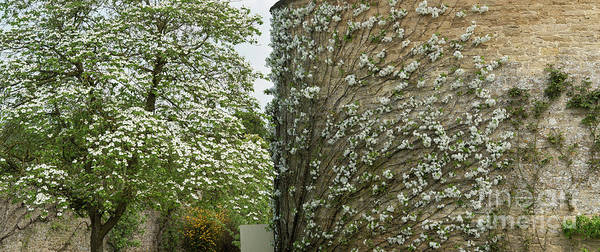 English Garden Photograph - Dogwood Flowers And Apple Blossom  by Tim Gainey