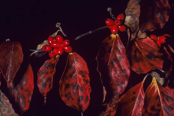 Photograph - Dogwood Leaves And Fruit by Robert Potts