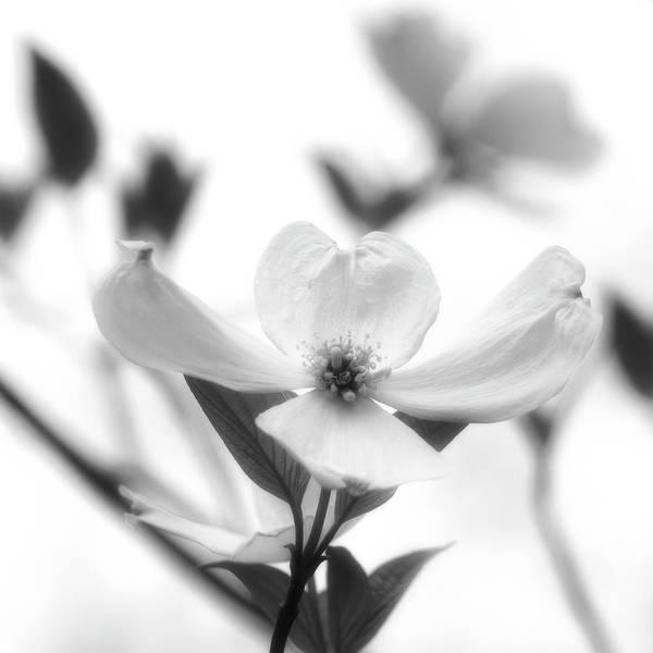 Photograph - Dogwood by Heather Kenward