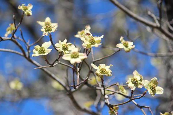 Photograph - Dogwood In Bloom by Cynthia Guinn