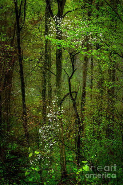 Photograph - Dogwood In The Forest by Thomas R Fletcher