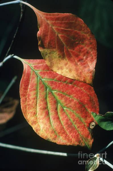 Photograph - Dogwood Leaves by John Kaprielian