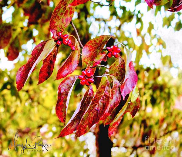 Photograph - Dogwood Leaves by MaryLee Parker