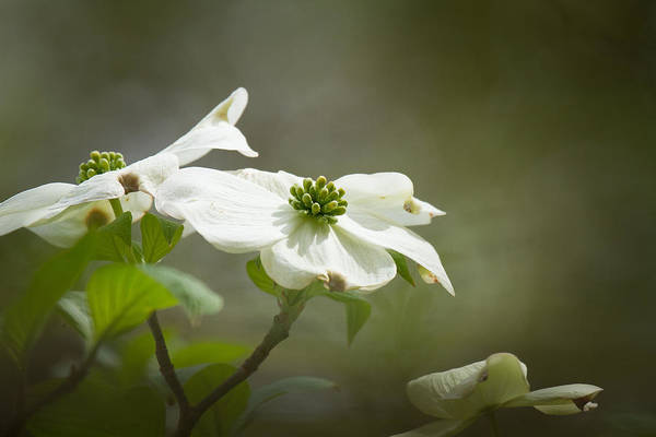 Photograph - Dogwood by Robert L Jackson