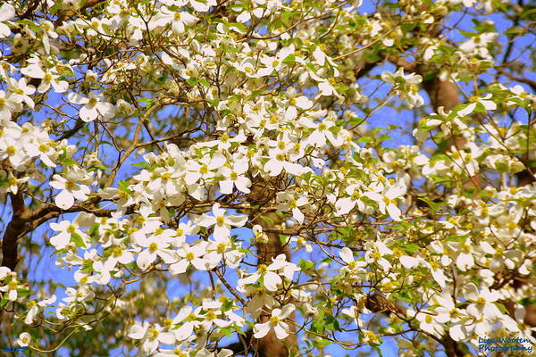 Wall Art - Photograph - Dogwood Tree by Lisa Wooten