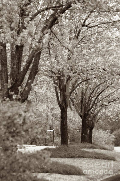 Photograph - Dogwood Trees by Donna Bentley