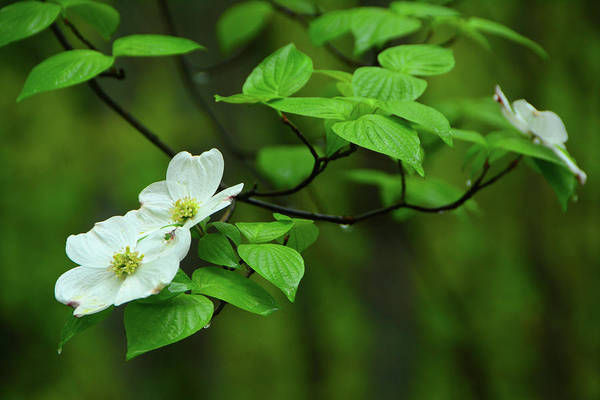 Photograph - Dogwoods In Harpers Ferry National Historical Park by Raymond Salani III
