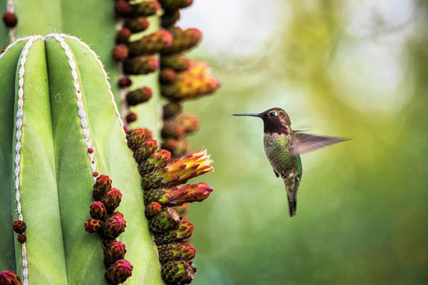 Wall Art - Photograph - Doing That Hummingbird Hover  by Saija Lehtonen