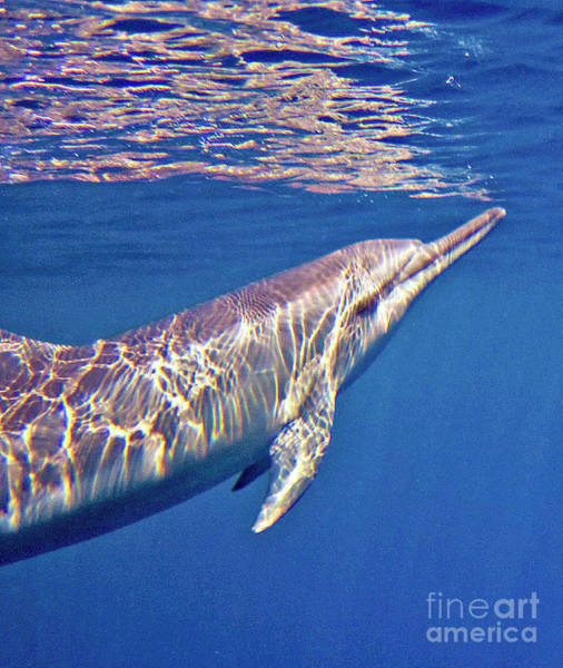 Dolphin Reflections Art Print